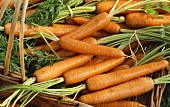 Carrots with tops in a basket