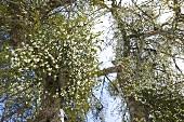 Mistletoe on trees