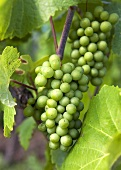 Riesling grapes on a vine (Alsace, France)