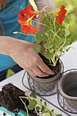 A woman planting a nasturtium in a pot