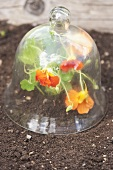 Nasturtiums under a glass cloche in a flower bed
