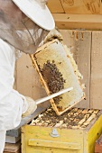 A beekeeper harvesting honey