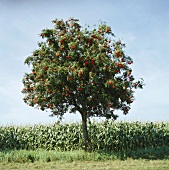 Rowan tree in front of field of maize