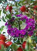 Wreath of purple asters hanging on an apple bough