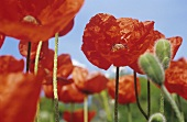 Oriental poppy 'Lauffeuer'