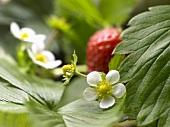 Erdbeere an der Pflanze