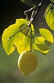 A lemon on the tree