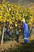 Grape picking in vineyard, Mad, Tokaj, Hungary