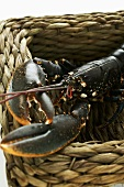 A live European lobster in a basket