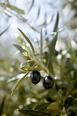 Two olives hanging on a tree