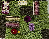 Edible flowers, sprouts and cress in geometric arrangement