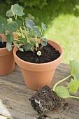 Nasturtium in flowerpot, courgette plant beside it