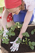 Planting young strawberry plants