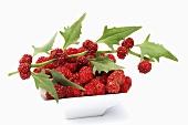Ähriger Erdbeerspinat mit Beeren (Chenopodium Capitatum)