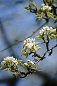 Pear blossom on the branch