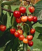 Cherries, variety 'Napoleon', on the tree