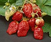 Strawberries, variety 'Korona'