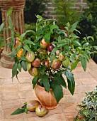 Pepino plant with fruit in terracotta pot (Solanum muricatum)
