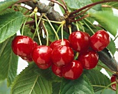 Ripe cherries on branch