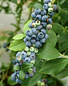 Cultivated blueberries on the bush