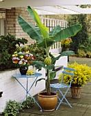 Banana plant in flowerpot