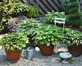 Various hostas in terracotta pots