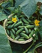 Fresh pickling cucumbers in basket