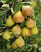 Pears, variety 'Gise Wildeman', on the tree