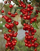 Crab apples (Malus 'Red Sentinel')