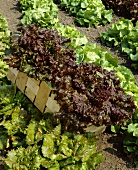 Various types of lettuce in the field