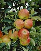 Elstar apples on the tree