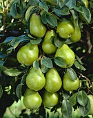 Pears on the tree, variety 'Beurre Alexander Lucas'