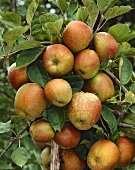Apples, variety 'Goldrenette', on tree