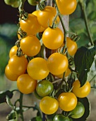 Yellow tomatoes, variety 'Yellow Debut', on plant
