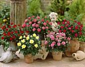 Minirosen im Blumentopf