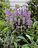 Blaue Bergminze (Agastache Blue Fortune)