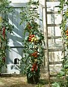 Tomato plants, variety 'Sparta'