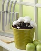 Button mushrooms in plant pot on window sill