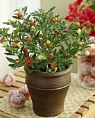 Jerusalem cherry (Solanum pseudocapsicum)