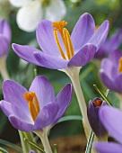 Purple woodland crocuses