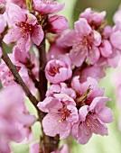 Pink nectarine blossom
