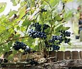 Weintrauben an der Rebe