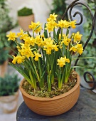 Tete-a-tete narcissi in planter
