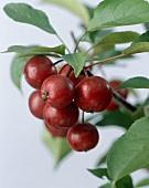 Crab apples (Malus 'Makamik')