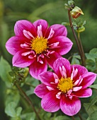 Two pink dahlias, variety 'Jazzy'