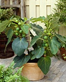 Small fig tree in pot