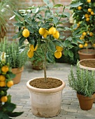 Small lemon tree (Citrus limon)