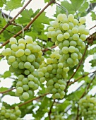 Table grapes, variety 'Golden Champion'