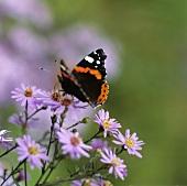 Schmetterling auf Astern