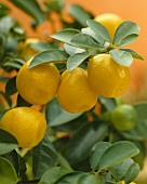 Kumquat (Citrus fortunella)